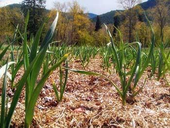 Petra's Garlic